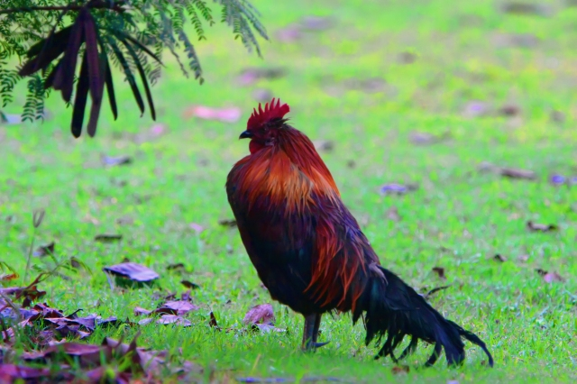 Wet Kauai rooster
